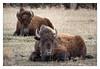 At Rest (Rick Olsen) Tags: buffalo southdakota fuji fujifilm xt2