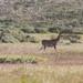 Mountain nyala (Tragelaphus buxtoni), area of Bale mountains, Ethiopia