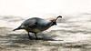Male Gambel's Quail - Gilbert Riparian Preserve - 5204 (AZDew) Tags: bird birdwatchers desert gambel'squail gilbertarizona gilbertaz gilbertriparianpreserve grp riparianpreserve topknot urban