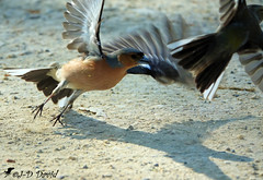 Scène de ménage chez les Pinsons 3 (jean-daniel david) Tags: oiseau réservenaturelle yverdonlesbains sable couple duo pinson pinsondesarbres nature volatile envol ombre