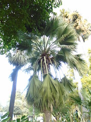(sftrajan) Tags: palmera palmier palmtree botanicgarden valencia valenciabotanicgarden jardínbotánicodelauniversidaddevalencia españa spain arecaceae palmae jardinbotanico jardíbotànic botanicalgarden botanischergarten jardínbotánico jardimbotânico jardinbotanique fanpalm