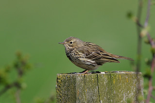 Meadow Pipit 9P1A4756a