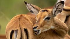 Nairobi-Nationalpark-6680 (ovg2012) Tags: aepycerosmelampus impala kenia kenya nairobi nairobinationalpark safari