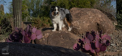 A desert dog among purple cactus (Jasper's Human) Tags: aussie australianshepherd dog desert rock cactus purple explorer magellan