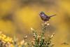 Dartford Warbler 1 (Mr F1) Tags: dartfordwarbler johnfanning yellow colour colourful summer amberspecies rare uk wildlife birds redeye shallowdof