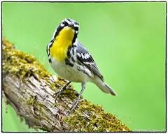 Yellow Throated warbler (RKop) Tags: d500 nikkor600f4evr 14xtciii raphaelkopanphotography huestonwoodspark ohio handheld iso400f561320 warbler warblers