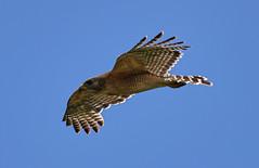 05-05-18-0016191 (Lake Worth) Tags: animal animals bird birds birdwatcher everglades southflorida feathers florida nature outdoor outdoors waterbirds wetlands wildlife wings