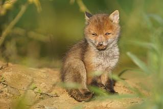 Renardeau (Vulpes Vulpes) Red Fox