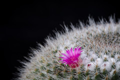 Cactus Mammillaria  with flower isolated on Black. (clement_peiffer) Tags: cactaceae mammillaria alone areoles background black bloom blossom botanical cacti cactus circle close closeup color curve decoration desert detail flora floral flower flowers garden green grow hook isolated macro natural nature nobody one pink plant pot red shape sharp single spine stem studio succulent summer thorn up view white yellow