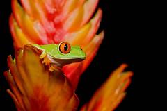 Red-eyed Tree Frog (Jen St. Louis) Tags: agalychniscallidryas redeyedtreefrog amphibian captive frog treefrog bromeliad nikond750 nikon105mmf28 jenstlouisphotography wwwjenstlouisphotographycom