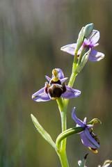 Au pays d'Aragon (PierreG_09) Tags: torresdelalcanadre aragon espagne spain españa monegros huesca ophrysscolopax ophrysbécasse flor flore fleur plante orchid orchidée orquidea