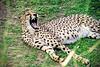 Cheetah's yawn (Wal Wsg) Tags: 7dwf 7dwffauna 7dwfdomingossaturdaysfauna fauna chita cheetahsyawn cheetahs yawn elguepardo lachita mundoanimal animalworld temaiken argentina provinciadebuenosaires escobar animales animals canoneosrebelt6i dia day phwalwsg elbostezodechita elbostezo felidae