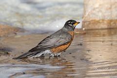 American Robin takes a bath