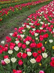 Tulips way (al.scuderi71) Tags: tulups red white flowers fiori fiore tulipani tulipano tulip tulipark roma parco park on1photoraw2018 on1pics on1photo panasonic gh4 rosso bianco green verde way via