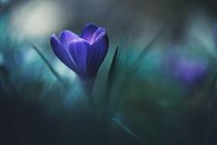 blue planet (christian mu) Tags: flowers bokeh nature germany muenster münster christianmu botanicalgarden botanischergarten schlossgarten spring crocus macro sony sonya7riii sonya7rm3 9028g 9028 90mm