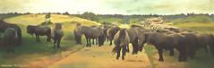 roadblock ;-) (♥Adriënne - for a better and peaceful world -) Tags: topaz analibrillana textured fauna horses zeeland schouwenduiveland