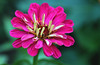 Zinnia (Julia_Kul) Tags: zinnia flower background close garden beautiful up pink nature beauty colorful floral color red blossom spring summer plant bloom natural green fresh flora petal closeup bright elegans gardening botany head macro decoration outdoor purple botanical pattern magenta