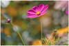 Cosmos (gilbertdorleansphotography) Tags: fleurs montréal canon cosmos flower garden jardins nature photo photographe photographie photography photos macro fleur jardin