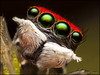 Maratus splendens 7 (GTV6FLETCH) Tags: spider macro macrophotography nsw australia au