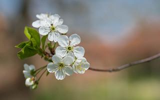 cherry blossoms (01)