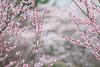 "prunus mume"" 'nicholas' and flowering cherry (MikaJC) Tags: prunusmume nicholas japanesefloweringapricot floweringcherry pink spring wavehillgarden"