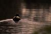 Swimming into the sunset (iantaylor19) Tags: mallard canal british birds warwickshire grand union canon 80d sigma 150600