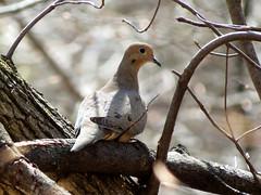 Mourning Dove (treegrow) Tags: rockcreekpark washingtondc nature lifeonearth aves bird zenaidamacroura taxonomy:binomial=zenaidamacroura columbidae