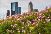16:52-2 Wild in the city (Woodlands Photog) Tags: wildflower mexican primrose houston city nature flower texas