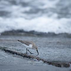 Calidris alpina (kenta_sawada6469) Tags: bird birds nature winter japan aves wildlife