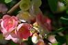 cheanomaleas japonica (paulsretrography1963) Tags: shrub cheanomaleas quince