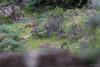 Lynx Pardelle (JordiOssau) Tags: andalousie carnivora carnivores espagne felidae felidés iberianlynx linceibérico lynxdespagne lynxpardelle lynxpardinus mammalia mammals mammifères parcnatureldelasierramorenadeandujar pardellynx parquenaturalsierradeandújar spanishlynx voyage