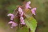 Lamium purpureum (ab.130722jvkz) Tags: wildflowers 2018botany botany lamiiaceae lamium