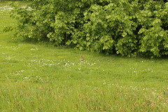 Oryctolagus cuniculus (Björn S...) Tags: oryctolaguscuniculus wildkaninchen kaninchen lapindegarenne lapincommun lapin conejocomún conejoeuropeo conejo coniglioselvaticoeuropeo coniglio coney europeanrabbit rabbit