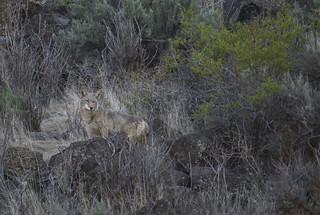 Cowiche Coyote