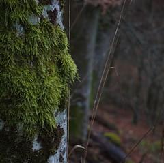 Baum mit Moos 2 (LoggeJo) Tags: geierlay hunsrück rheinlandpfalz baum moos wald tree carrageen wood forest