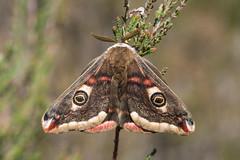 Emperor moth (gillian.pullinger) Tags: emperormoth saturniapavonia moth heath heathland crooksburycommon surrey uk lepidoptera wildlife insect