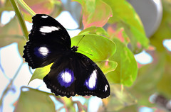 Farfalla 12 (Maurizio Belisario) Tags: farfalla butterfly insetti animali volo ali fly