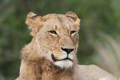 Panthera leo ♂ (Lion) - Kruger NP, South Africa (Nick Dean1) Tags: pantheraleo lion krugernationalpark southafrica