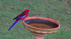Crimson Rosella-Platycercus Elegans (tonydawe1) Tags: species colour tail common tribe fruit seeds diet red blue scarlet