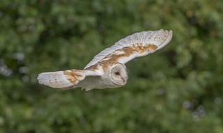 JWL0664  Barn Owl..