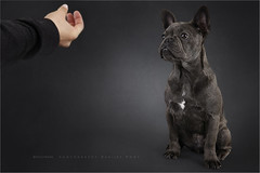 The making of...Jack (Marijke M2011) Tags: canoneos5dmarkii canon amsterdam thenetherlands frenchbulldog dog dogportrait greydog friend hond hondenportret animal pet petportrait cute patience huisdier indoor studio studiolightning