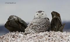 Snowy Owl and Driftwood (Frank Mantlik) Tags: snowyowl buboscandiacus connecticut