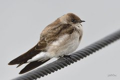 Northern Rough-winged Swallow (jt893x) Tags: 150600mm bird d500 nikon nikond500 northernroughwingedswallow sigma sigma150600mmf563dgoshsms songbird stelgidopteryxserripennis swallow thesunshinegroup coth alittlebeauty sunrays5 coth5