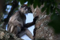 Feeling lonely (MatsOnni) Tags: ugandanredcolobus procolobustephrosceles ruostegueretsa uganda murchonfalls africa mattisaranpää monkey
