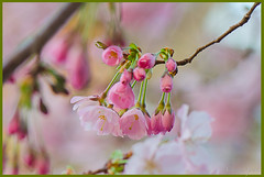 °*° (adrianaaprati) Tags: albero ciliegio fiori rami flowers cherry cherryblossoms blooming blossom april branch tree pink blur nature beauty fragility delicacy aiku poetry poetically macro