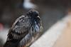 City Bird (hollyzade) Tags: bird birds city toronto ontario canada bokeh focus grey orange eyes detail sharp animal nikond40 nikon scruffy