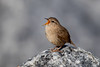 Wren (Simon Stobart (Catching Up and Editing)) Tags: wren troglodytes singing rock northeast england