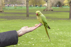 A Bird in the Hand (adrians_art) Tags: ringneckedparakeets parrots birds hands fingers feathers green red st james park stjamespark london uk england londoparks trees sprintime yellow city urban wings