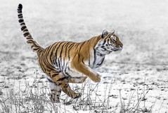 On Your Marks-1 (tiger3663) Tags: amur tiger snow yorkshire wildlife park action