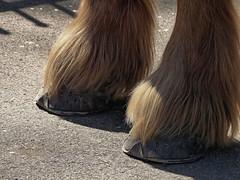 Les poils longs - The long furs (p.franche Visit(ez) mes expositions) Tags: panasonic lumix fz200 bruxellesbrussel brussels belgium belgique belgïe europe pfranche pascalfranche hdr dxo phototab flickrelite schaerbeek schaarbeek yourbestoftoday parcjosaphat josaphatpark carthorse chevaldetrait peid sabot feràcheval cheval horse nature horseshoe poil fur hair macro